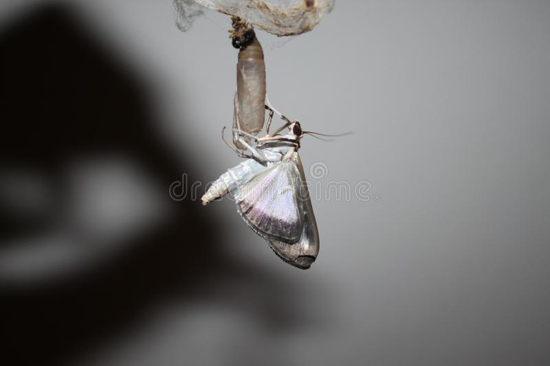 Box tree moth on a chrysalis. The picture shows a box tree moth on a chrysalis royalty free stock photography