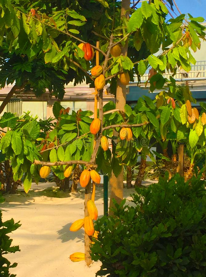 Cacao tree in a greenhouse in Disney World stock images