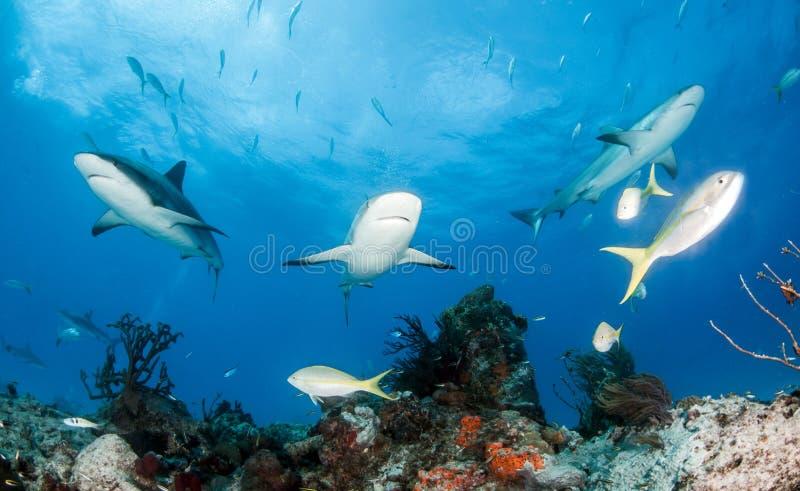 Caribbean reef sharks at the Bahamas stock images