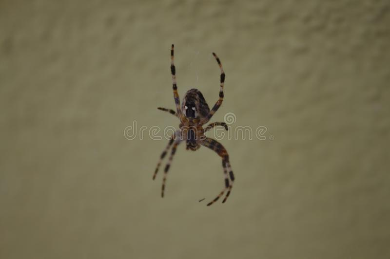 Cross spider in the spider web royalty free stock photography