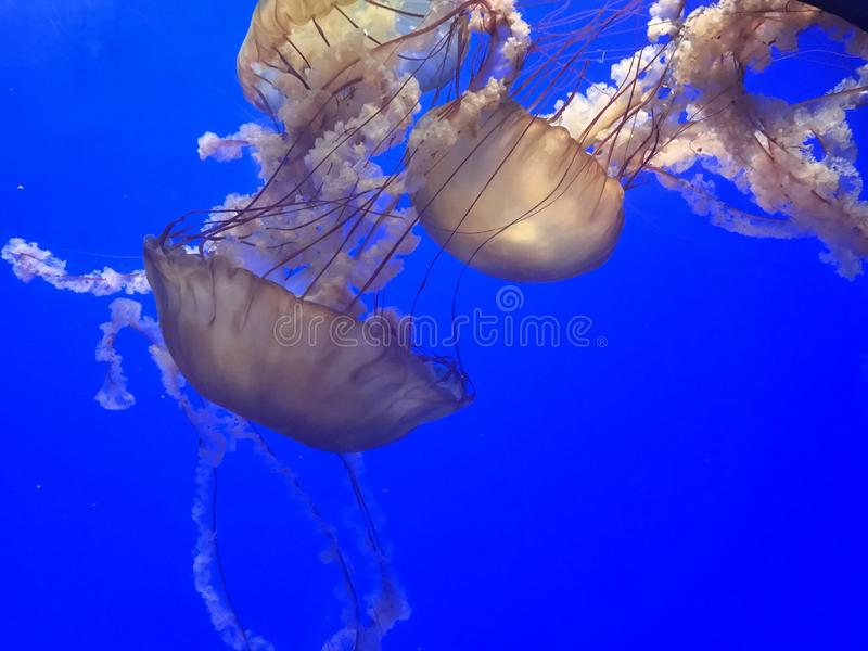 Brown jellyfish in a blue water coming from the top. The picture shows a group of brow jellyfish together in the water, coming from the top royalty free stock photos