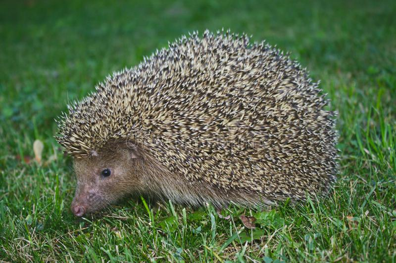 A hedgehog in the garden. The picture shows a hedgehog in the garden stock image