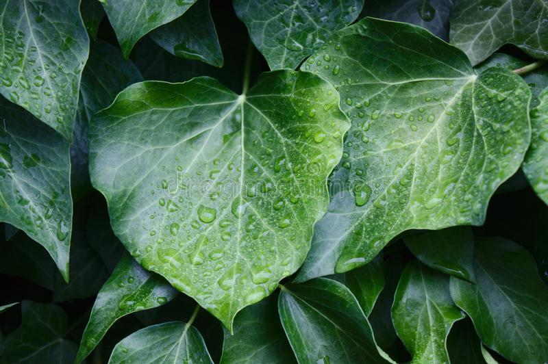 Ivy leaves after the rain. The picture shows ivy leaves after the rain royalty free stock image