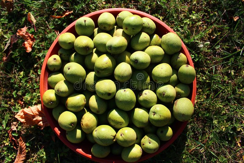 Many ripe walnuts with shells. The picture shows many ripe walnuts with shells stock photo