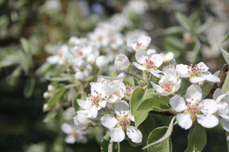 Pear blossoms in the garden. The picture shows pear blossoms in the garden royalty free stock photos