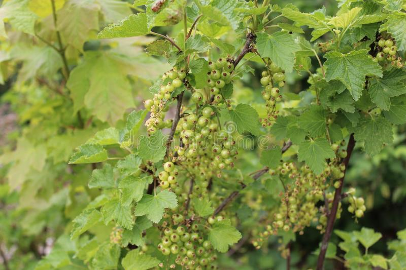 Unripe currant in the spring. The picture shows unripe currant in the spring stock images