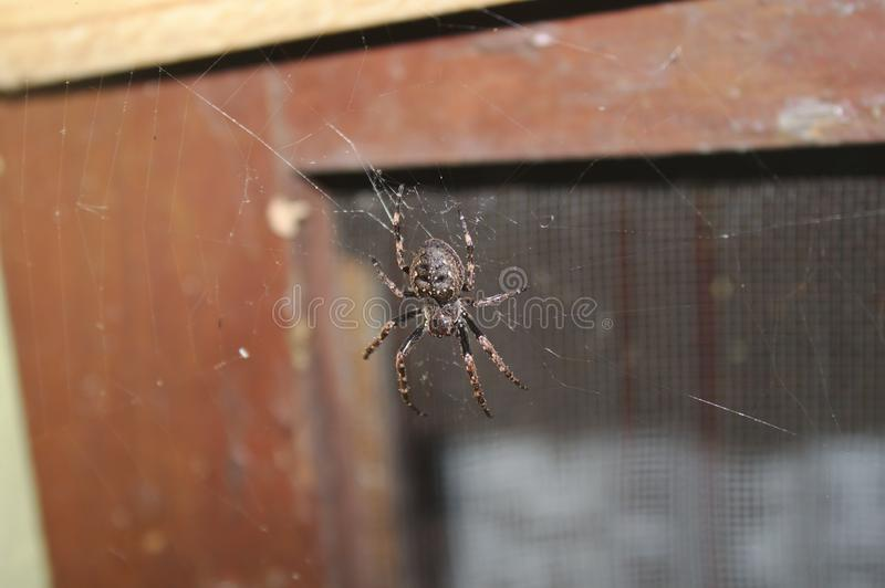 Walnut orb-weaver spider in the spider web. The picture shows a walnut orb-weaver spider in the spider web stock images