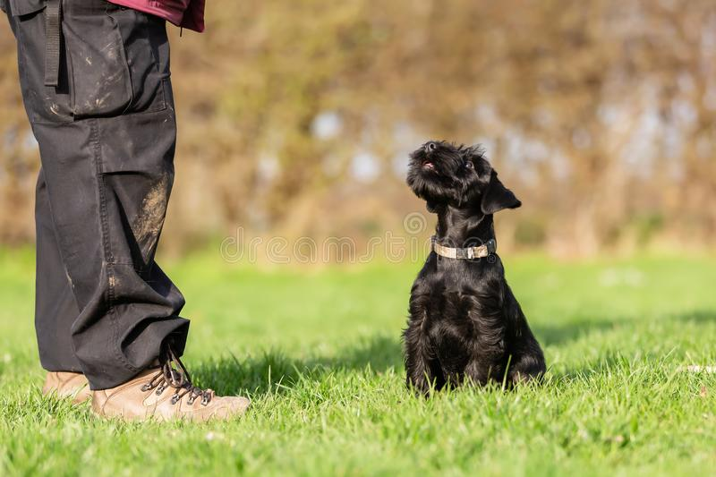 Standard schnauzer puppy looks up to his master. Picture of a standard schnauzer puppy looks up to his master stock photography