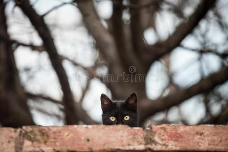 Curious stray black cat, standing at the top of a wall, looking and staring at the camera with its green eyes. royalty free stock image