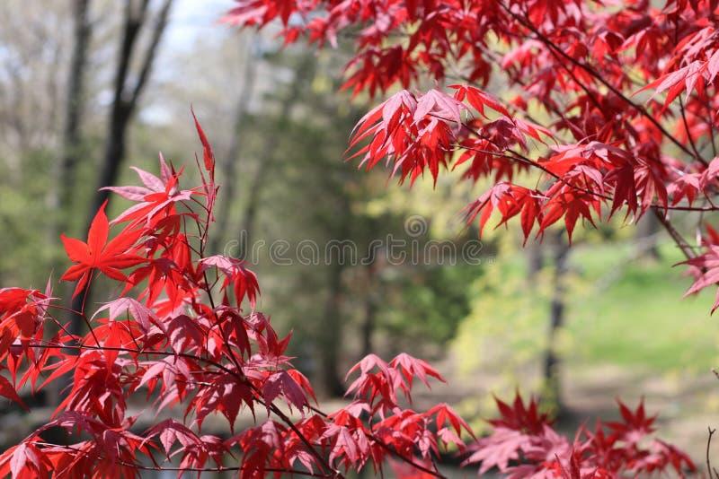 Stunning Japanese Red Maple stock image