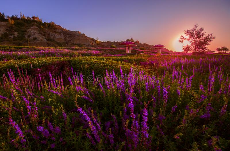 Lavender planted at foot of Tianshan mountain China. The picture is taken at the time of sunset. it is located in Xinjiang China, at the foot of Tianshan