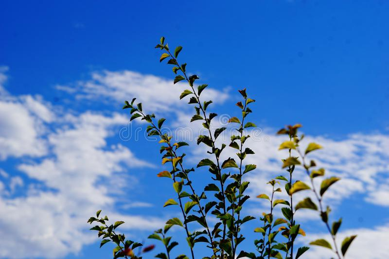 Branches against the blue sky some blurr. A picture of tall plants against the bright blue sky some blurr stock photo