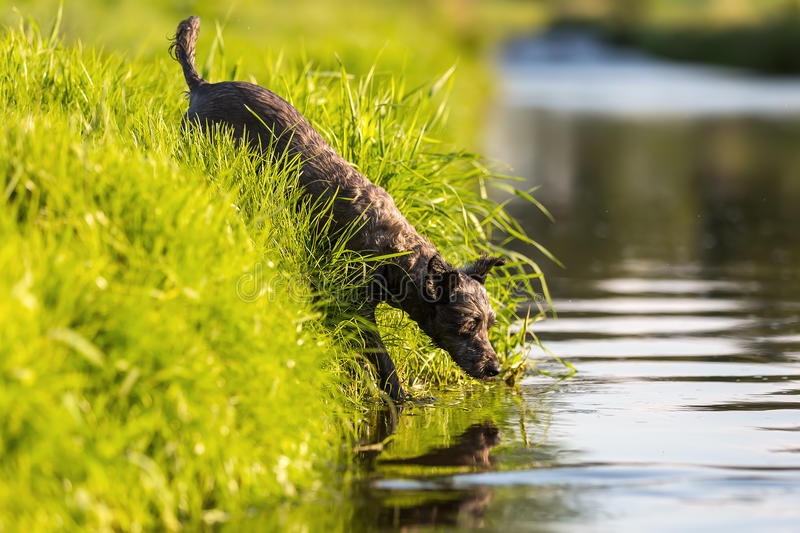 Terrier hybrid dog walks in a river. Picture of a terrier hybrid dog who walks in a river stock image