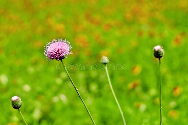 Texas Thistle flowers. Picture of a Texas Thistle flowers taken at blooming season in TX, USA stock photo