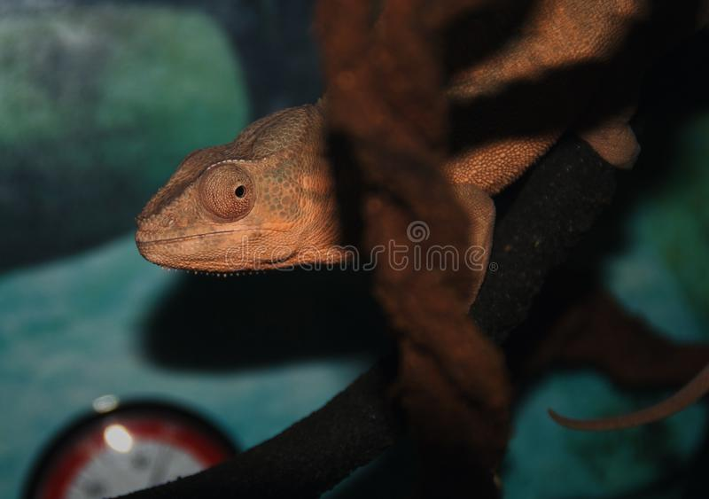 An orange flavor chameleon. The picture took in Petco store in East Meadow in New York. I used Nikon D80 stock photo