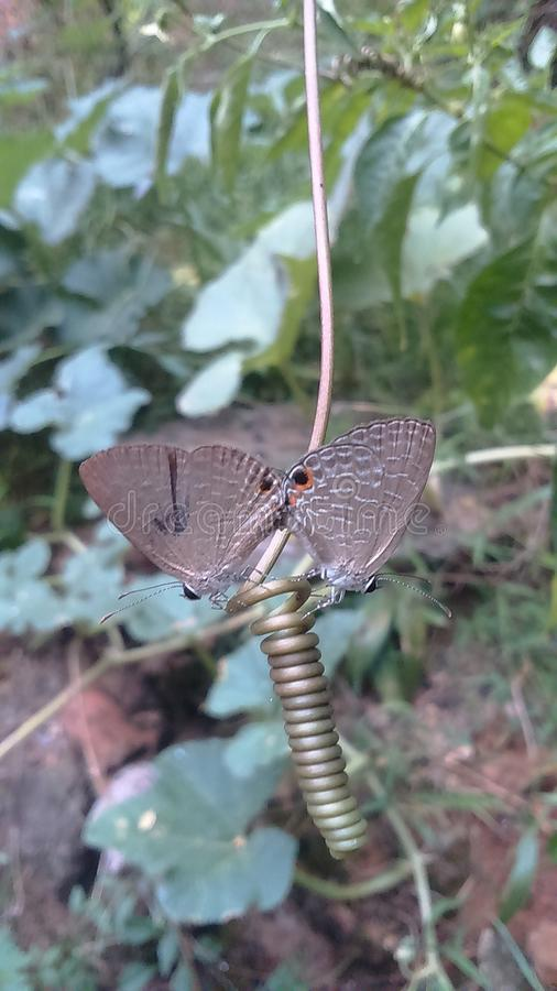 Two Butterflies royalty free stock photo