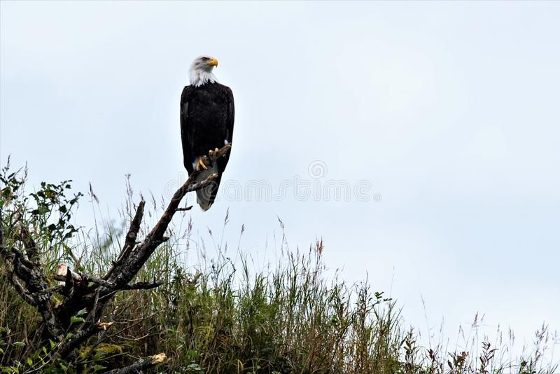 Proud bird - Balded Eagle the heraldic bird of USA. This Picture was taken on the coast of Alska. The Balded Eagle is the heraldic bird of the United States stock photography