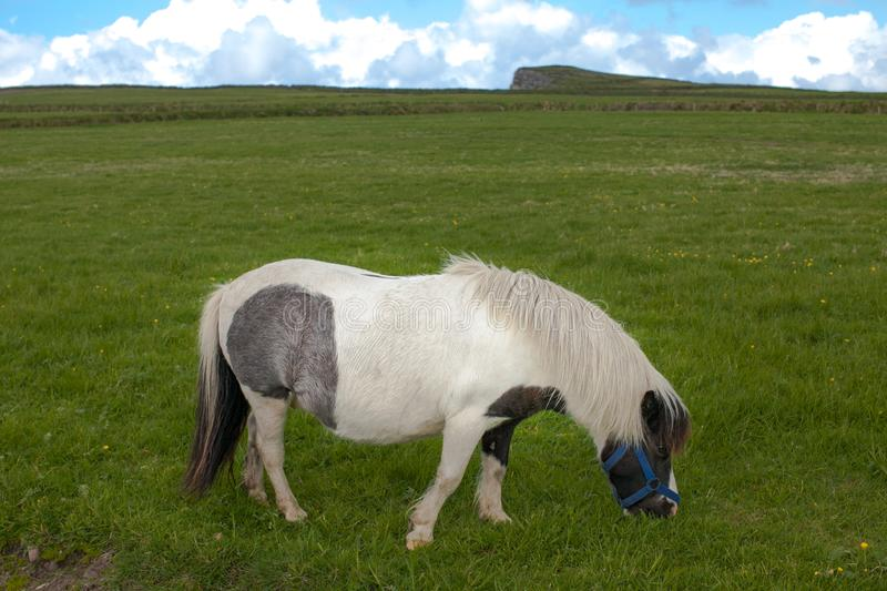 Shetland Pony grazing on grass. This is a picture of a white, black and grey Shetland Pony grazing on fresh grass royalty free stock photo