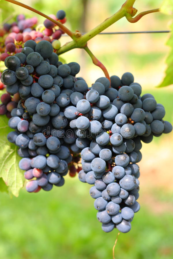 Download Picture of Wine harvest stock photo. Image of wineyards - 39505990