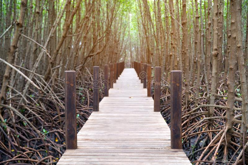 Picture of a wooden walkway to study the nature of the mangrove forest stock photo