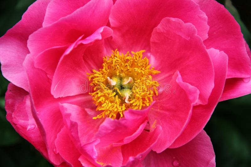Yellow center of a pink flower stock images