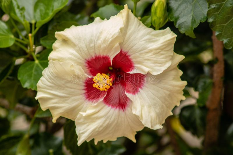 Yellow and red hibiscus. Picture of a yellow and red hibiscus stock image