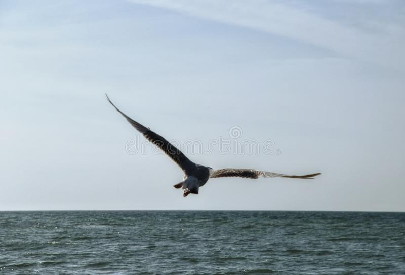 Seagull flying over the sea royalty free stock photos