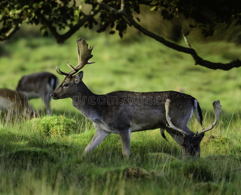 A group of young deer in the woods royalty free stock images