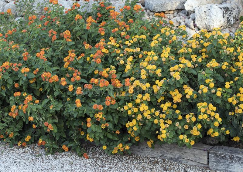 Bed of Lantana plants with yellow and orange flower clusters royalty free stock image