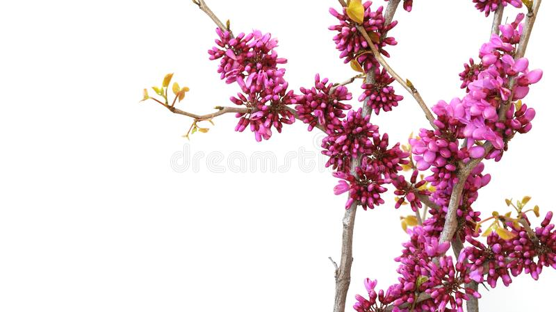 Branch and flower of Chinese redbud in a white background stock photos