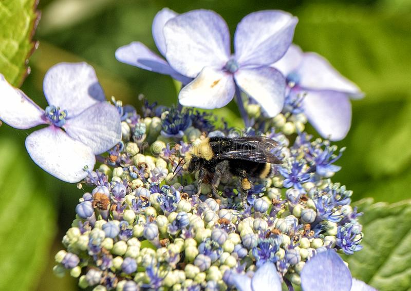 Bumblebee feeding on a blue flower royalty free stock photography