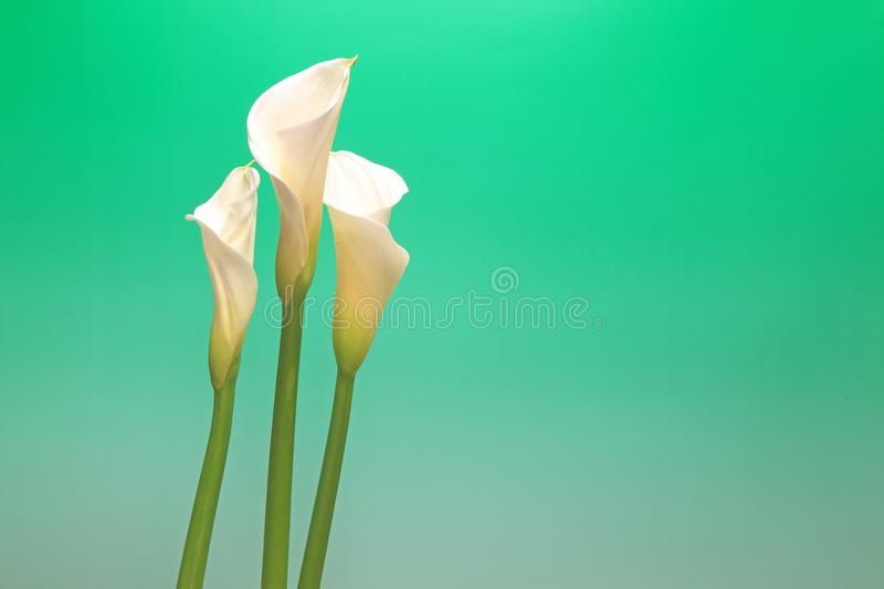 Calla in a green gradation. Pictured calla in a green gradation royalty free stock photography