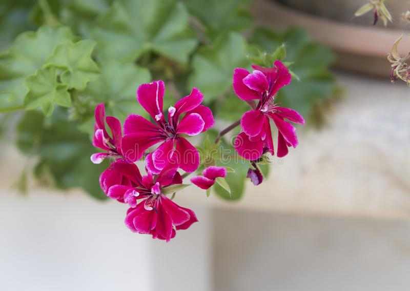 Red Geranium blooms, Southern Italy. Pictured is a closeup view of red geranium blooms in southern Italy. Geranium is a genus of 422 species of flowering annual stock photos