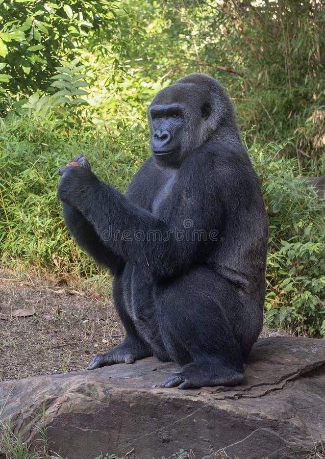 Female gorilla named Shanta, Dallas Zoo stock photos