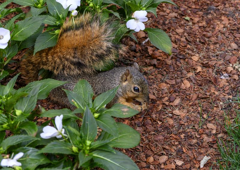 Fox squirrel enjoying a nut in the flowers in the Dallas Arboretum and Botanical Gardens royalty free stock photos