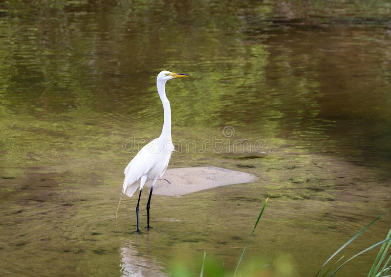 Great white heron standing in shallow water in Watercrest Park, Dallas, Texas stock photography