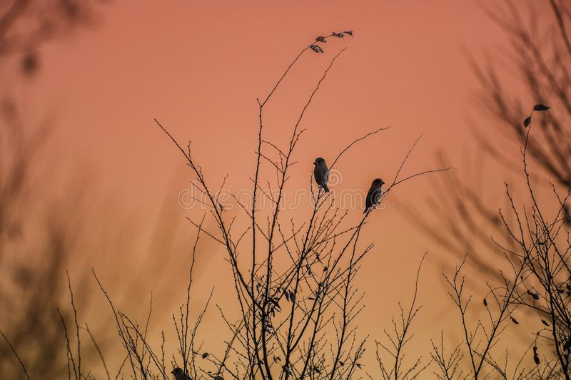 Hawfinchs in athe morning glow. Pictured  hawfinchs in athe morning glow stock image