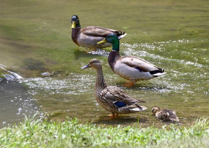 Family of mallards in a shallow lake in Watercrest Park, Dallas, Texas. Pictured is a mother mallard duck, her duckling and two male mallards standing in a stock image