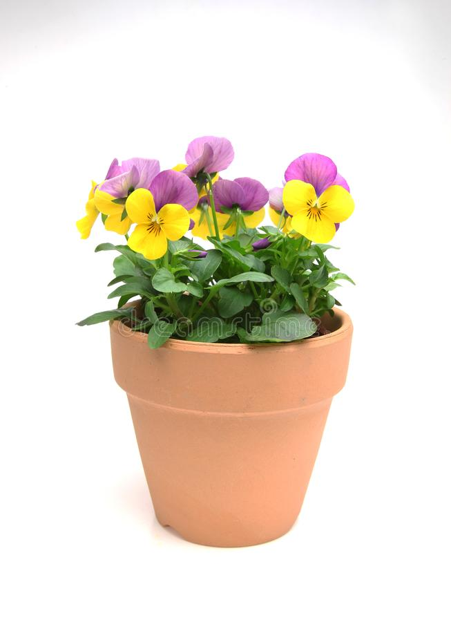 Violas in the flower pot. Pictured violas in the flower pot stock image