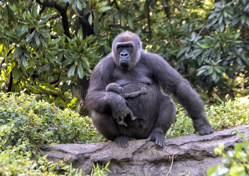 Western lowland gorilla with baby, Dallas Zoo stock photos