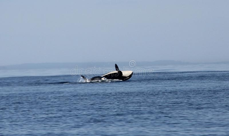 Transient Biggs Orca Whale Breach stock photo