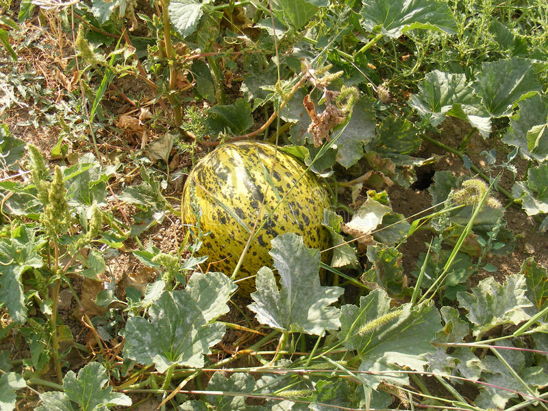 Pictures of melon in the field for commercials of fruit producers royalty free stock image