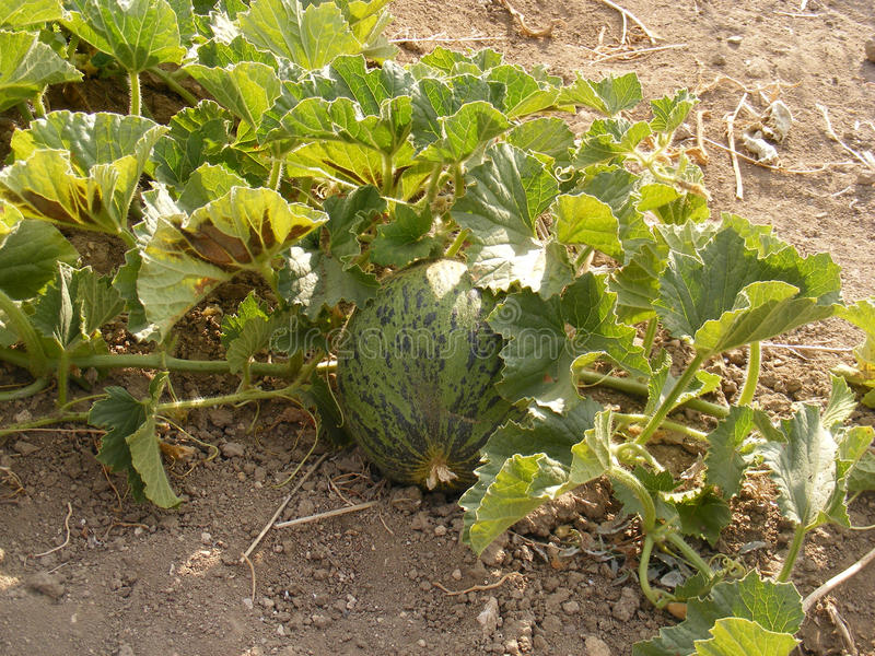 Pictures of unripe kelek and melon on the field royalty free stock photos