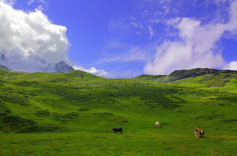 Picturesque Alpine landscape. Cows grazing on picturesque grassy hillside with Alpine mountains, blue sky and cloudscape background, Jungfrau region, Switzerland stock photos
