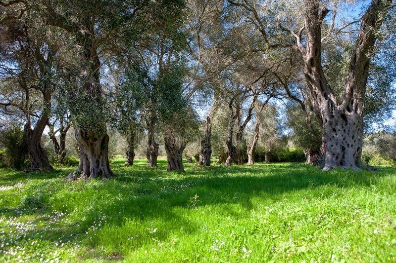 Picturesque ancient olive grove from Corfu island, Greece.  stock photo