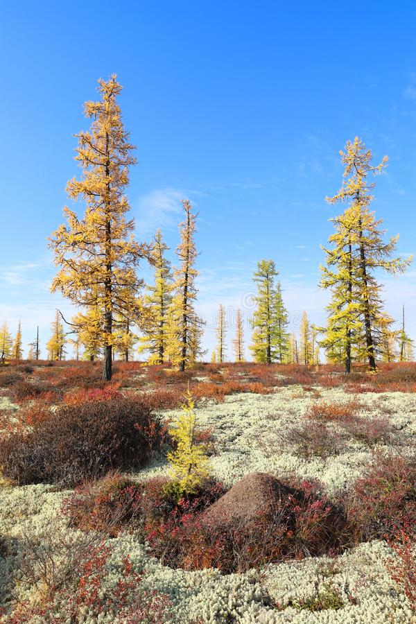 Picturesque autumn landscape on a Sunny day in Yamal. Autumn landscape with moss and yellow larch in the North of Western Siberia stock image
