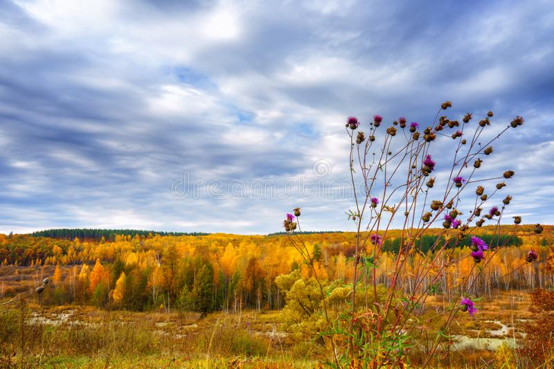 Picturesque autumn landscape. View from the hill to the lowland with forest and swamps and a thistles branch in the foreground. stock photo