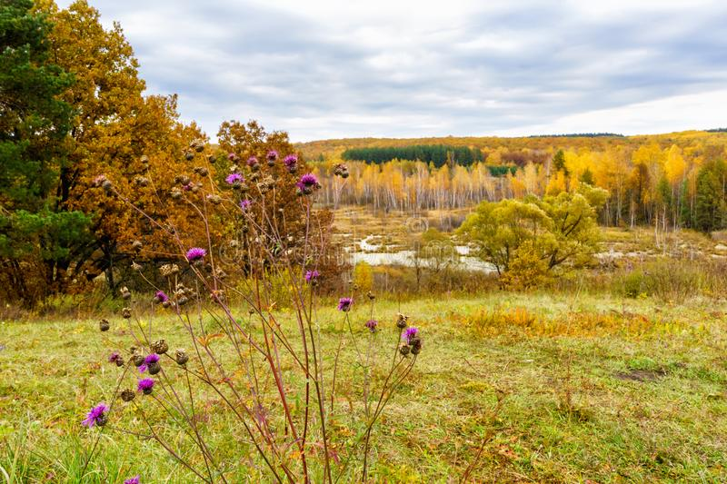 Picturesque autumn landscape. View from the hill to the lowland with forest and swamps and a thistles branch in the foreground. royalty free stock photos