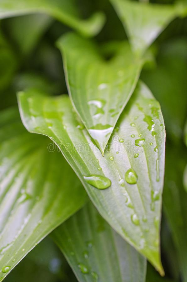 Free Picturesque Bright Green Garden Plant Host After The Rain Stock Image - 126332091