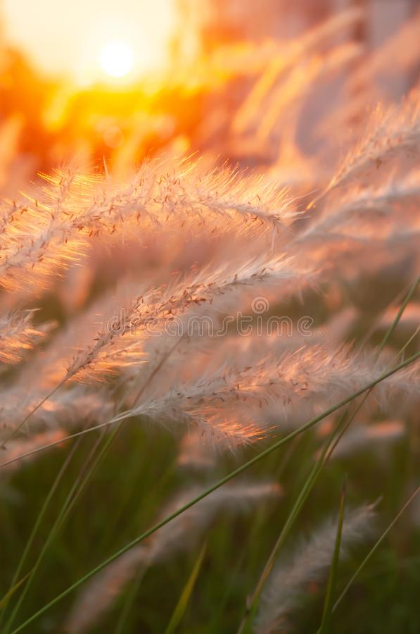 Picturesque cogon grass flowers at sunset, nature scene in summer stock photography